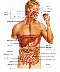 excretory system - body systems, Muscles